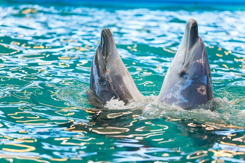 2 дельфина танцуя в открытом море стоковые изображения rf