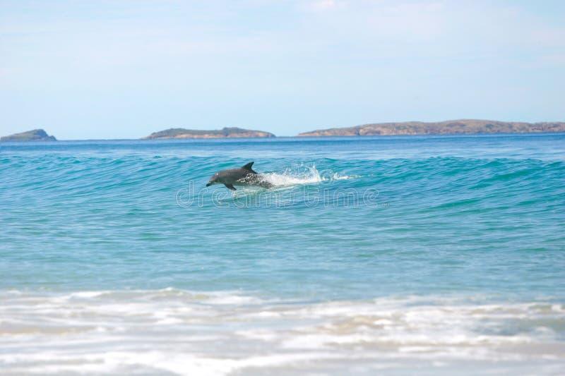 дельфины занимаясь серфингом стоковое изображение