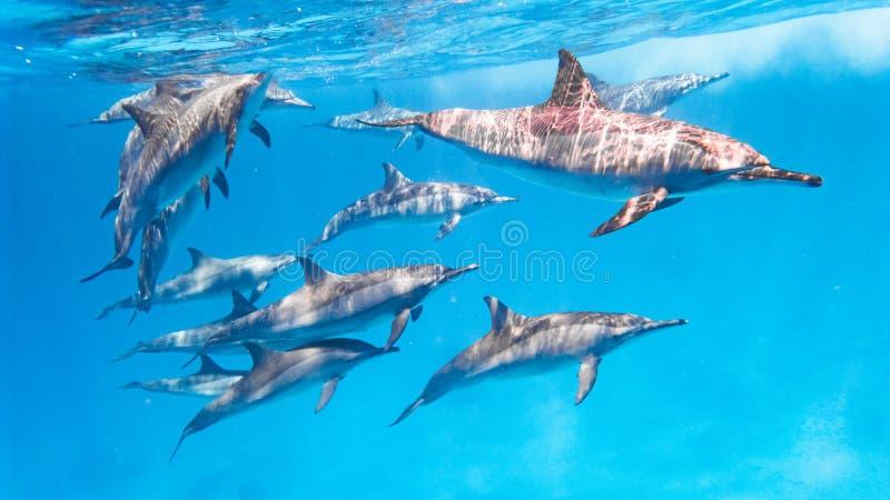 Дельфины заплывания, Египет стоковое фото