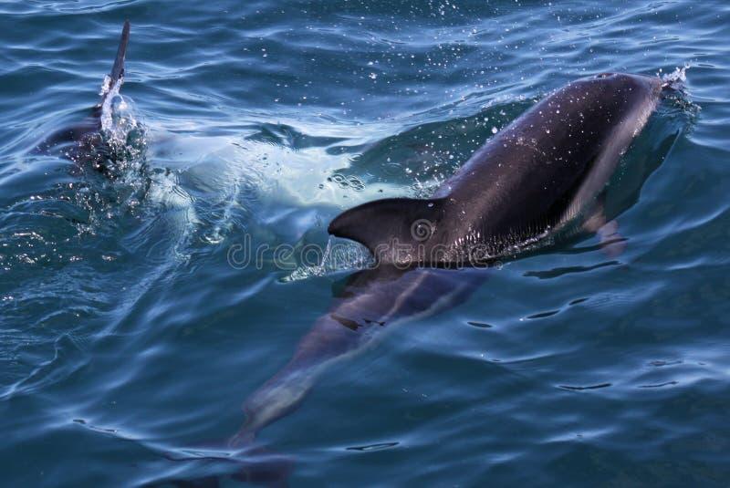 Дельфины имея потеху в океане во время отключения кита наблюдая - Новой Зеландии стоковое фото