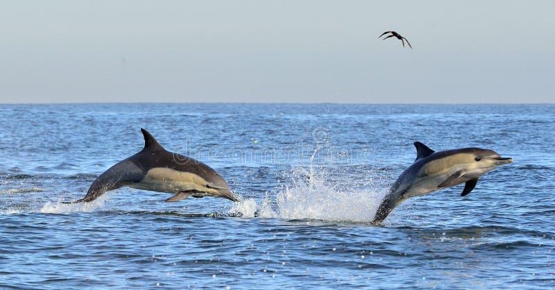 Дельфины плавают и скачущ вне от воды стоковые фото