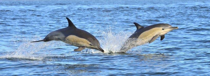 Дельфины плавают и скачущ вне от воды стоковая фотография rf