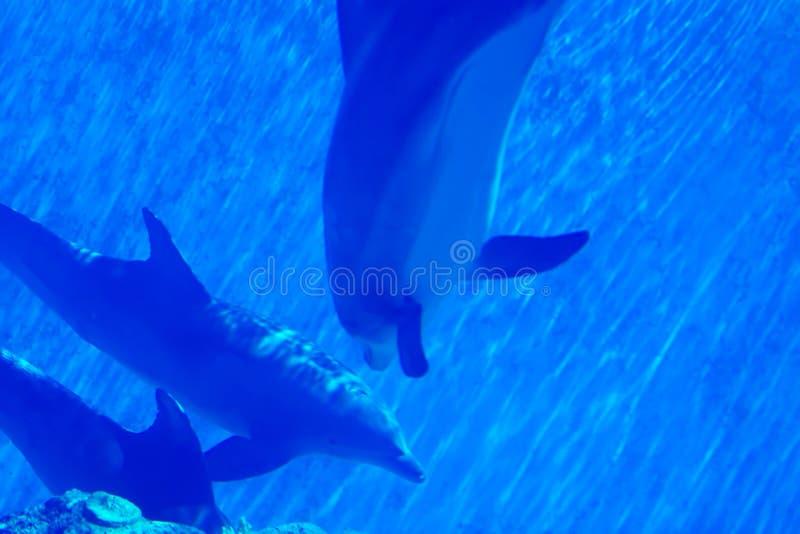 дельфины плавая под водой стоковые изображения rf