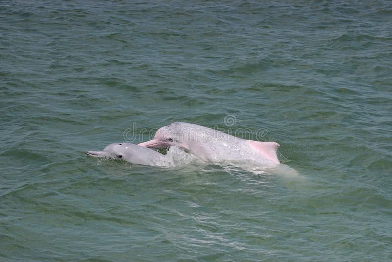 Дельфины Sousa горба Indopacific chinensis в Гонконге стоковое изображение