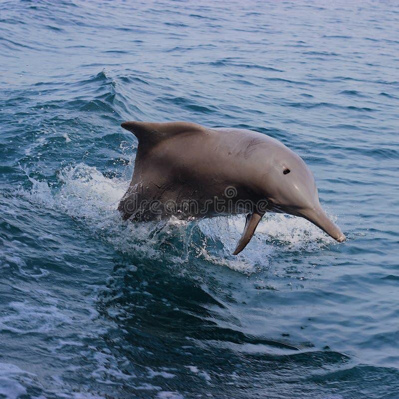Дельфин в гольфе Омана стоковое фото rf