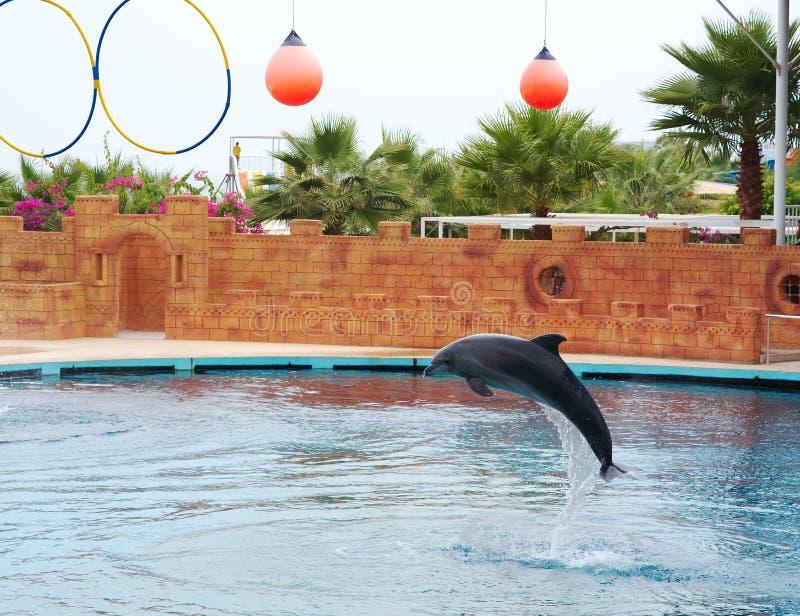 Дельфин играя в воде стоковое изображение rf