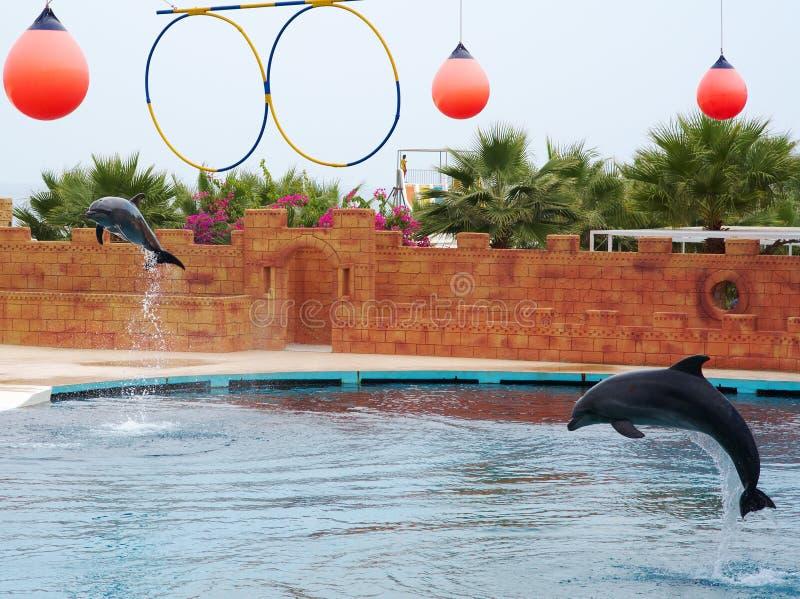 Дельфин играя в воде стоковое изображение