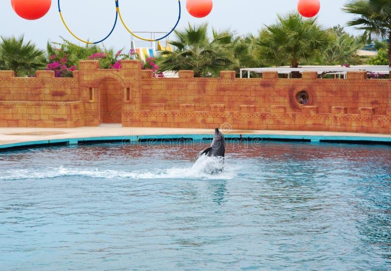 Дельфин играя в воде стоковое фото