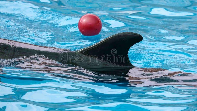 Дельфин играя с шариком в воде стоковые изображения rf