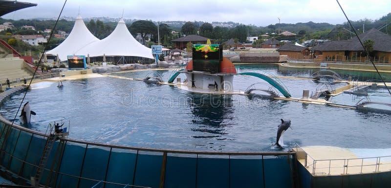 Дельфин-касатки в Marineland Антибе стоковое изображение rf