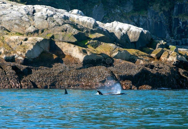 2 дельфин-касатки - косатки - в национальном парке фьордов Kenai в Seward Аляске США стоковое изображение