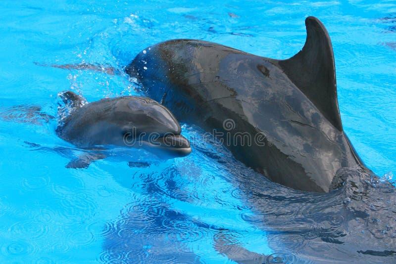 дельфин младенца ее маленькая мать стоковое изображение