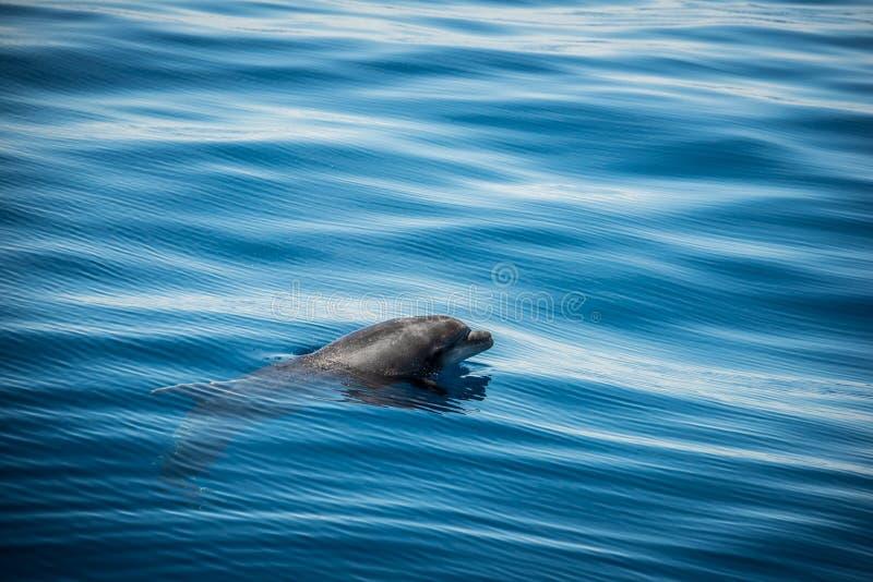 дельфин одичалый стоковые изображения
