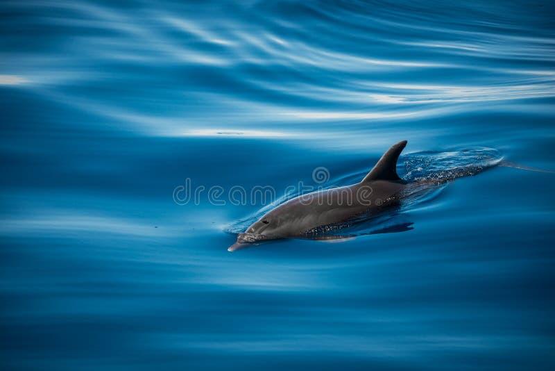 дельфин одичалый стоковое изображение