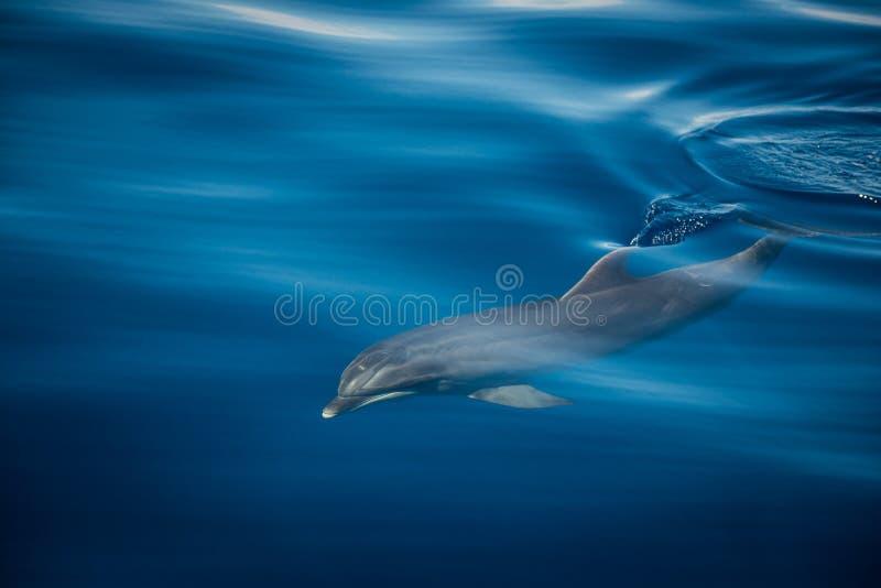 дельфин одичалый стоковое фото