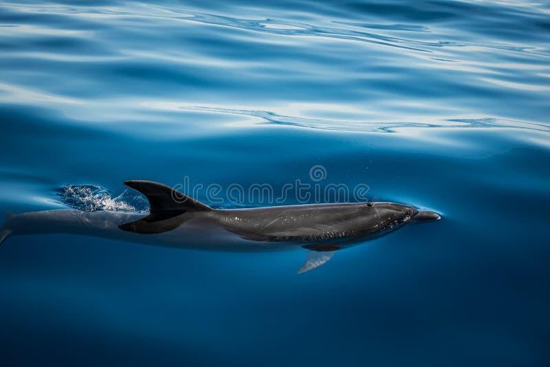 дельфин одичалый стоковые фотографии rf