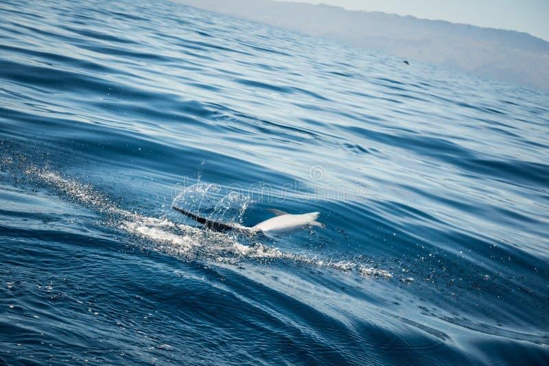 дельфин одичалый стоковая фотография