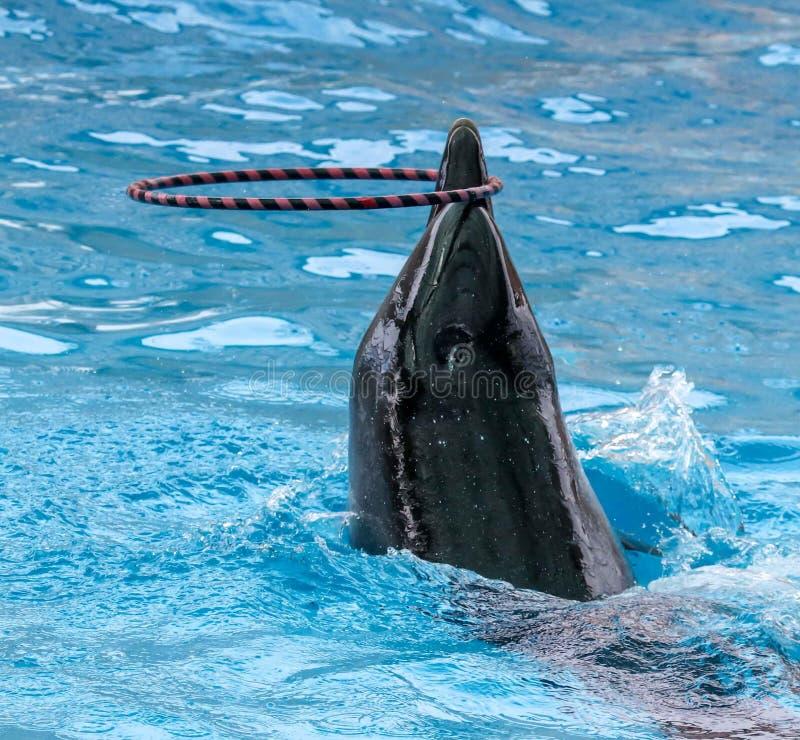 Дельфин поворачивает кольцо на голове стоковые изображения