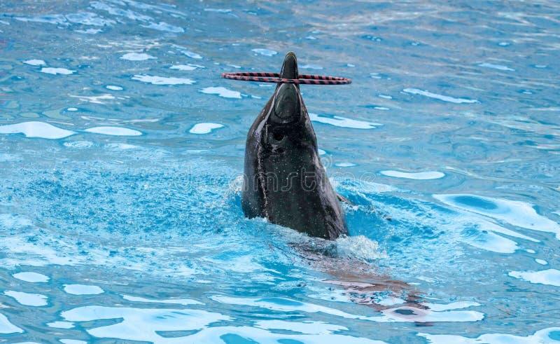 Дельфин поворачивает кольцо на голове стоковые фотографии rf