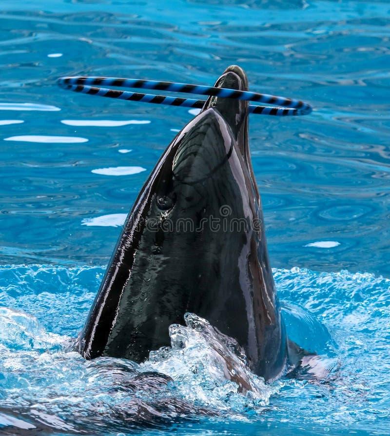 Дельфин поворачивает кольцо на голове стоковые изображения rf