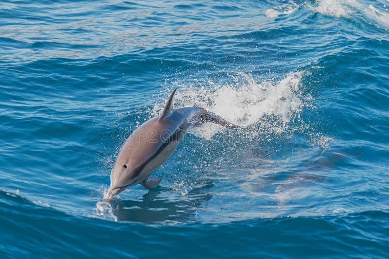 Дельфин скача вне моря стоковые фото