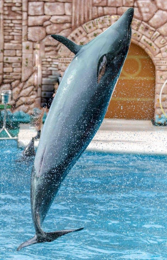 Дельфин скачет от бассейна в парке стоковое фото