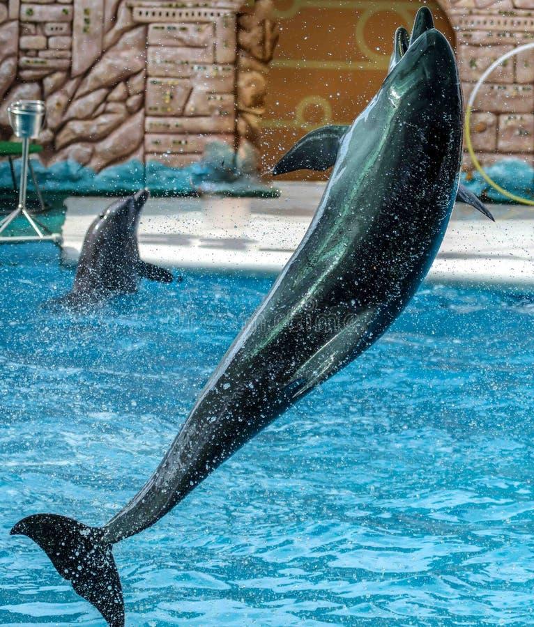 Дельфин скачет от бассейна в парке стоковая фотография rf