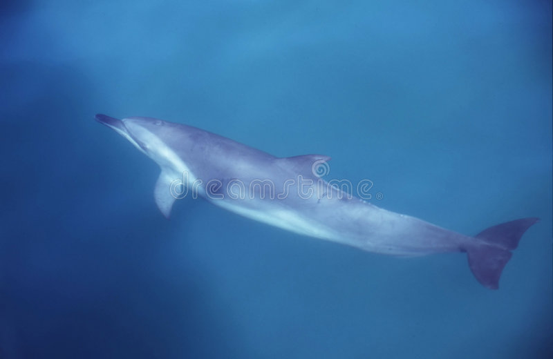 Download дельфин стоковое изображение. изображение насчитывающей морск - 76179