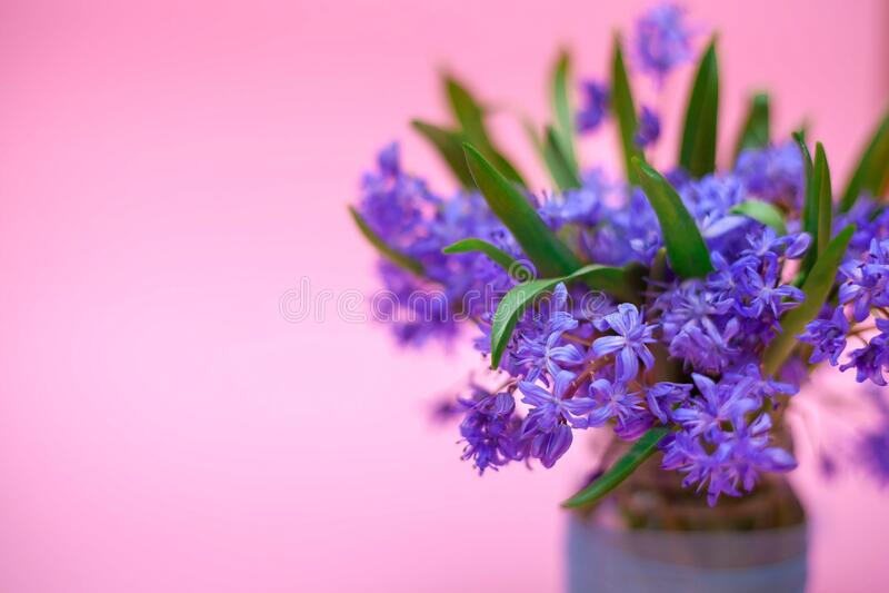 День матери Пасха Красивые голубые весенние цветы в вазе на розовом фоне поздравительная открытка 8 марта Международный стоковая фотография