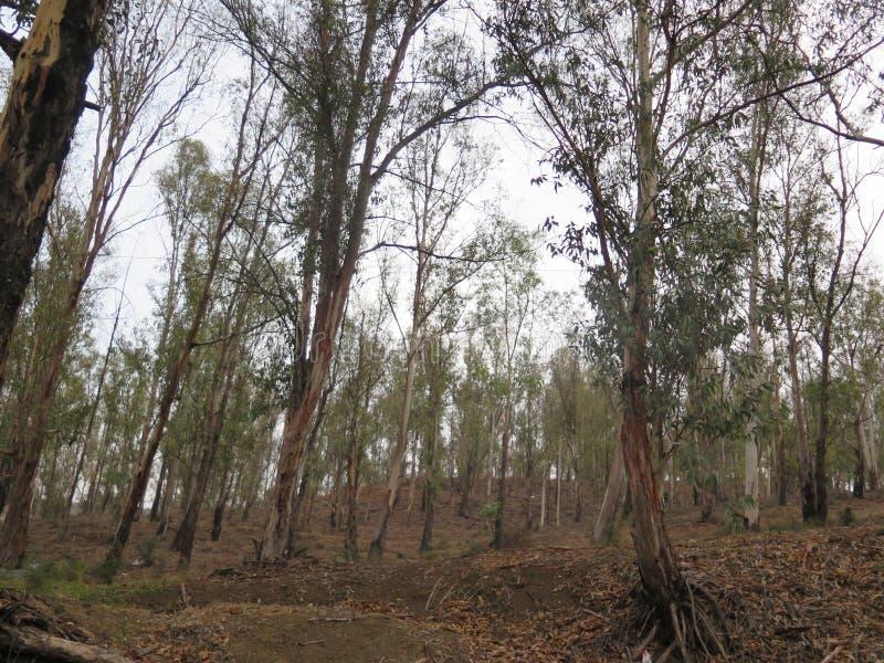 Download День осени в древесинах евкалипта Стоковое Фото - изображение насчитывающей полесья, евкалипт: 81814878