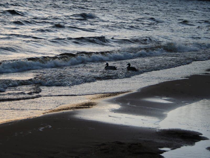 день ducks бурное стоковая фотография