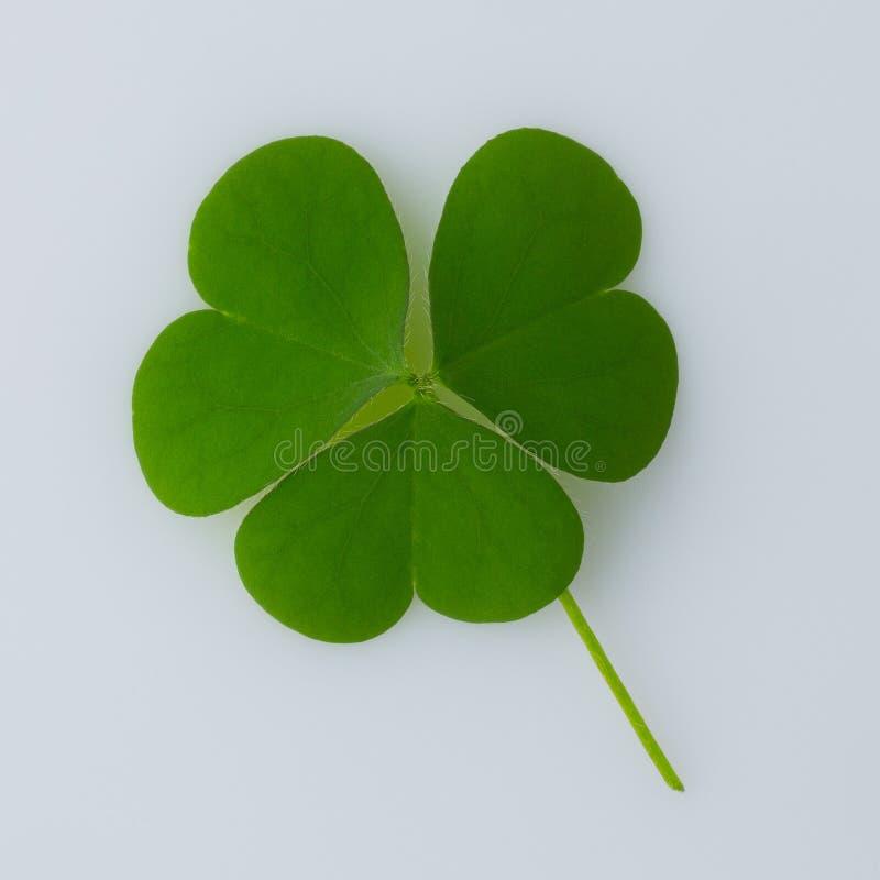 День ` s St Patrick Изолированные листья клевера на белой предпосылке стоковое фото rf
