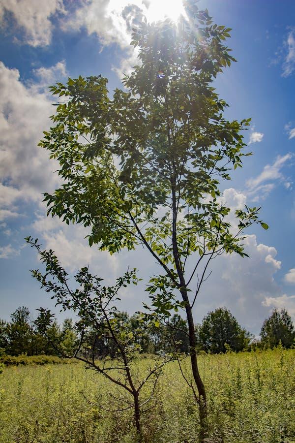 2 дерева деревц в поле с голубыми небесами и солнечностью стоковое фото rf