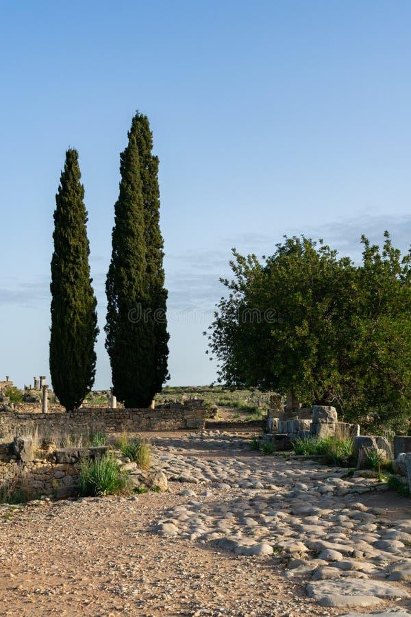 2 дерева на римских руинах Volubilis в Марокко стоковые изображения