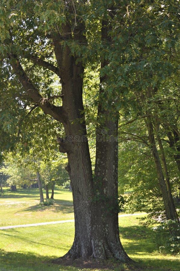 2 дерева растя из одиночного пня на крае пути стоковое фото