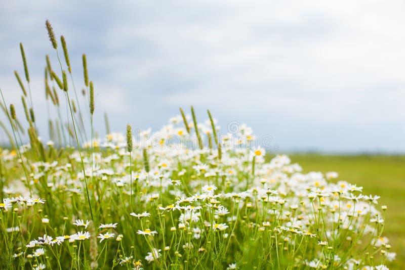 Деревенская предпосылка цветка лета природы стоковая фотография rf