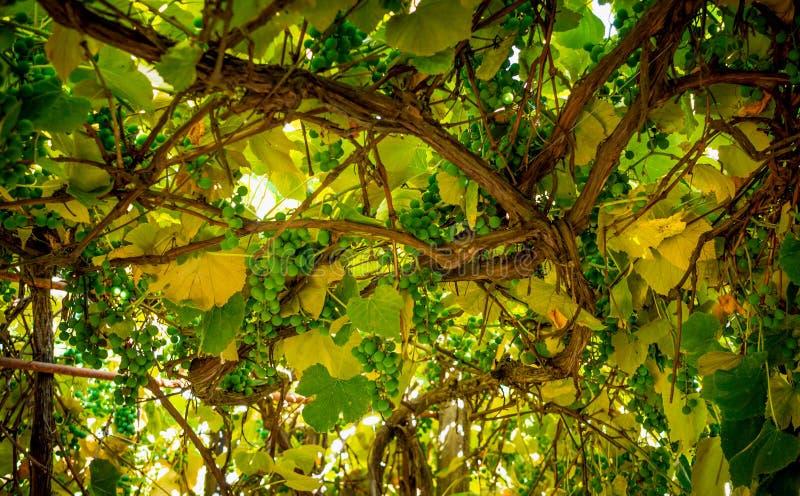 Деревенское газебо и старая лоза стоковое изображение