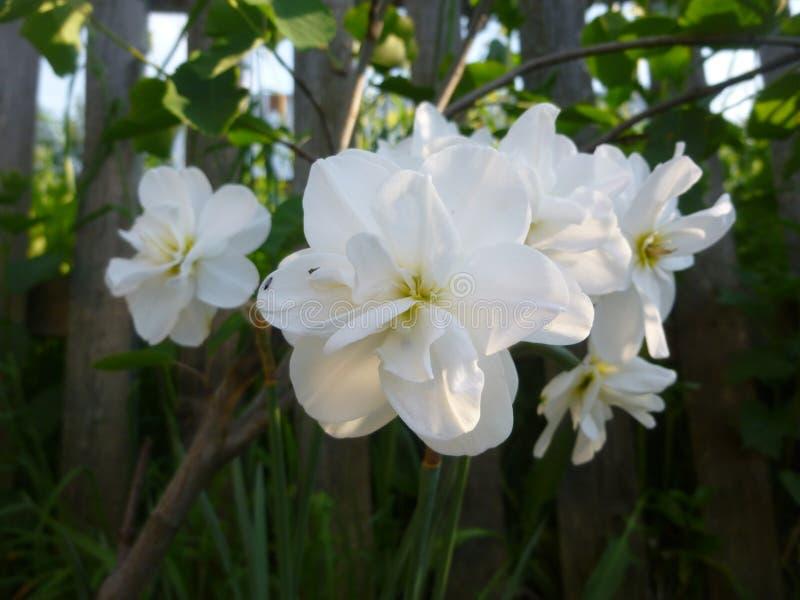 Деревня июнь лета Daffodils цветет природа стоковое изображение