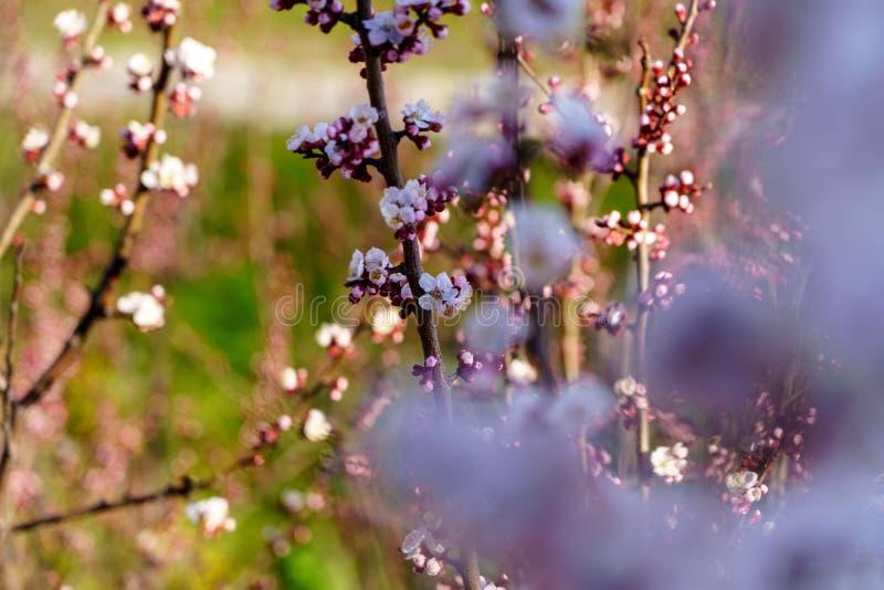 Дерево абрикоса с красивый зацветать белые и розовые цветки и бутоны в саде с зеленой травой в весеннем дне солнечности стоковое изображение