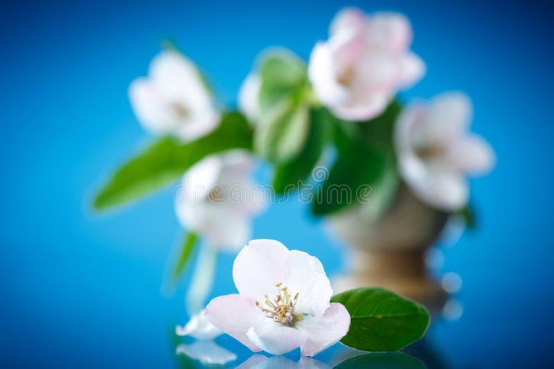 Дерево айвы весны цветя стоковое изображение rf