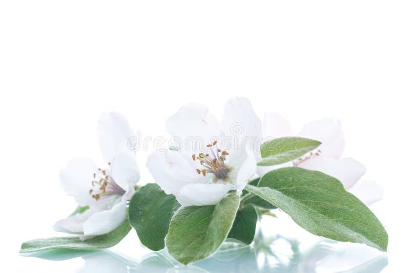 Дерево айвы весны цветя стоковая фотография rf
