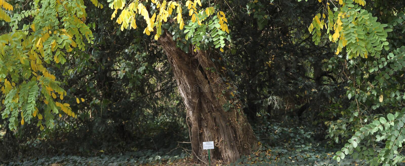 Дерево акации в ботаническом саде парка Arad County - Румынии Macea dendrological стоковые изображения rf