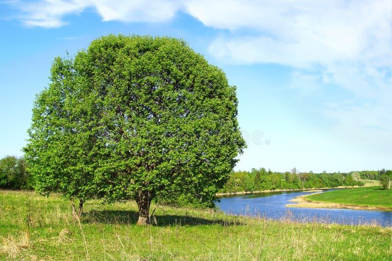 Дерево ландшафта лета сиротливое большое стоковые изображения