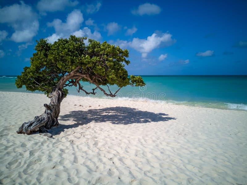 Дерево Аруба Divi Divi стоковые фотографии rf