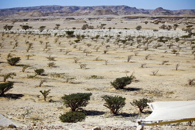 Дерево ладана в вадях Dawkah стоковая фотография