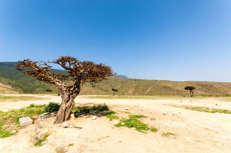 Дерево ладана в Salalah, Dhofar, Омане стоковые фото