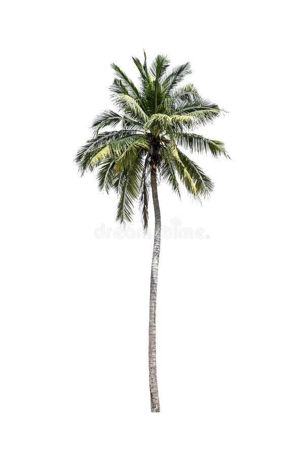 Дерево (ладонь кокоса) изолированное на белой предпосылке стоковая фотография rf
