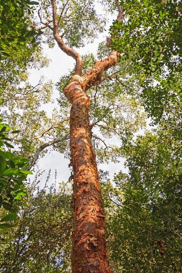 Дерево Бамия-заточения в лесе стоковая фотография