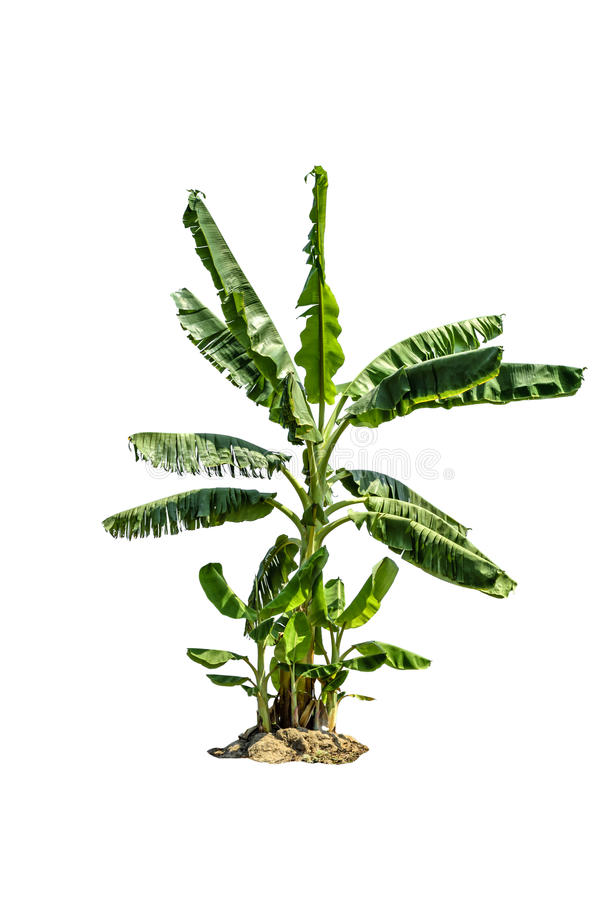 Дерево (банановое дерево) изолированное на белой предпосылке стоковое фото rf