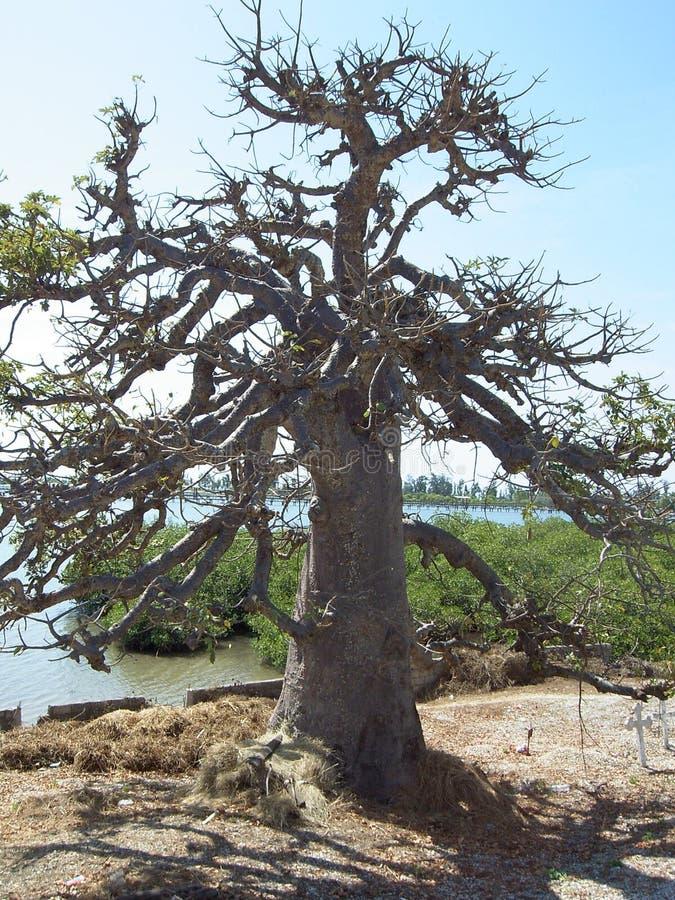 Дерево баобаба священное Сенегала стоковое фото rf